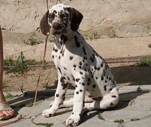 щенок далматина Айсик