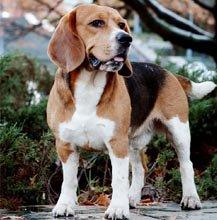 Oliver First Beagle