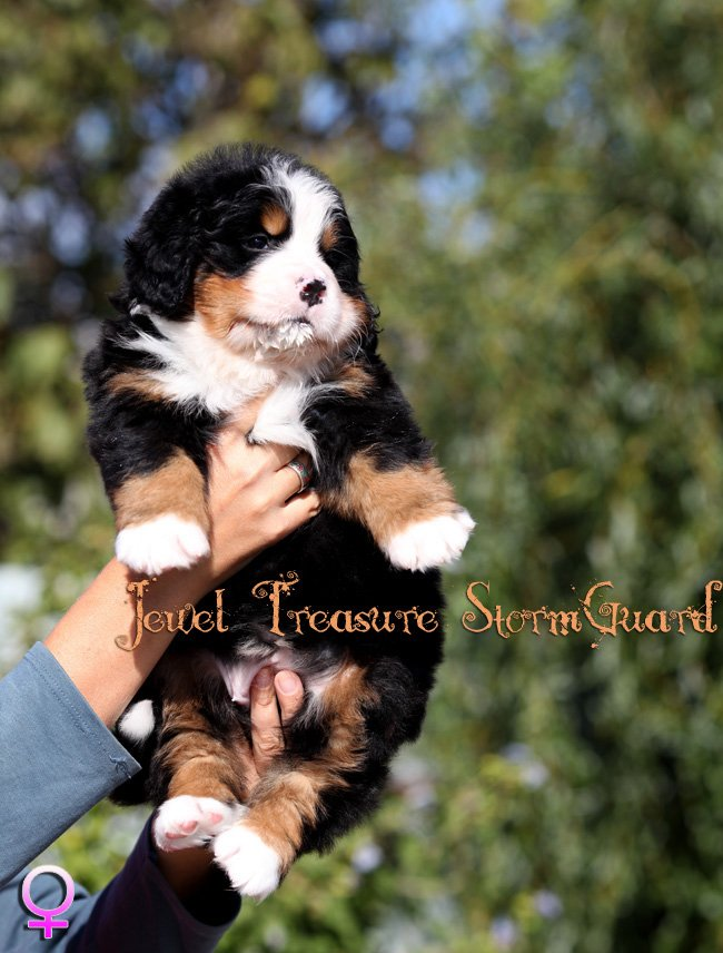 Bernese Puppies