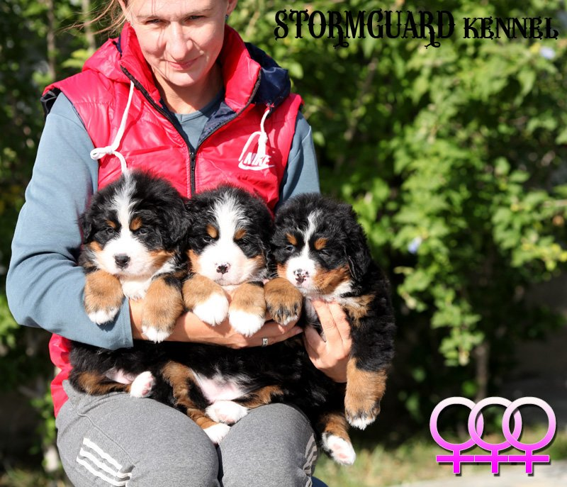 "Image for post Bernese puppies – Litter ""J"", August 18th 2017"