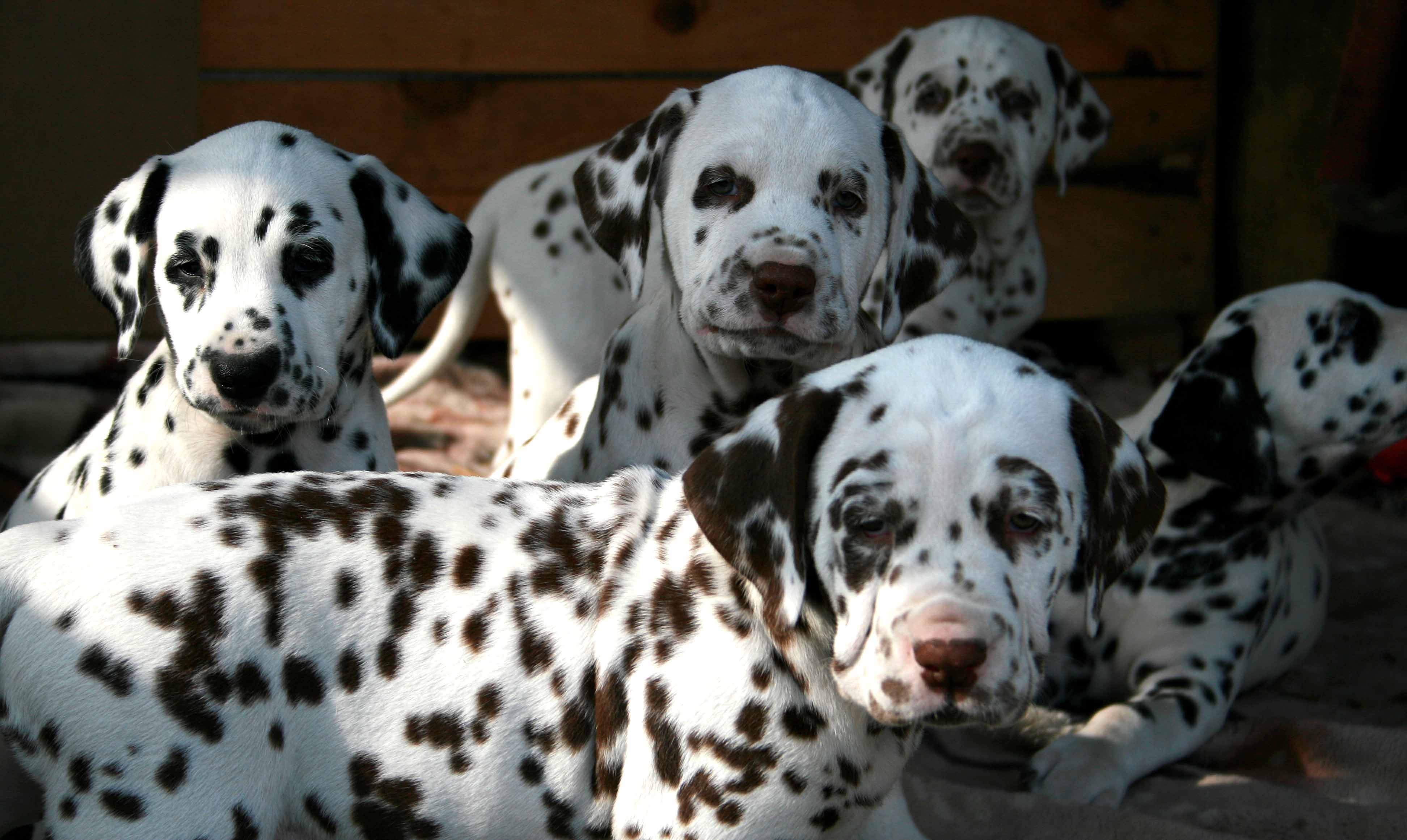 Image for post 'Dalmatian puppies (video)'