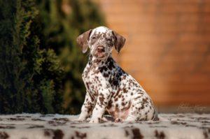 Dalmatian Puppy - Scarlet Olivia Stormguard