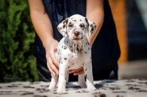 Dalmatian puppy - Serenade of Love Stormguard