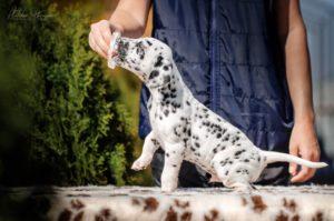 Dalmatian puppy - Shiny Sphynx Stormguard