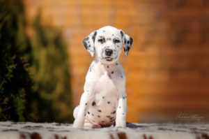 Dalmatian puppy - Simply the Best Stormguard 2