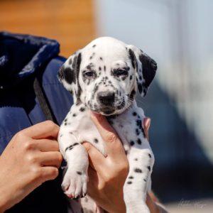 Dalmatian puppy - Sunny Bunny Stormguard 2