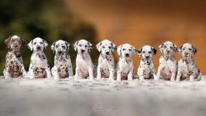 MANY Dalmatian puppies StormGuard kennel