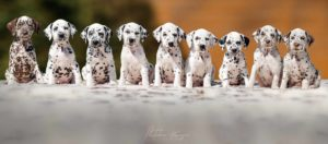 MANY Dalmatian puppies StormGuard kennel copy