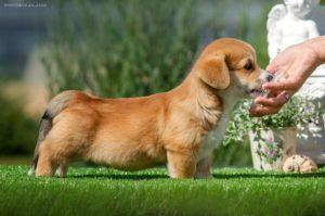 Corgi Puppy - Luxury Red StormGuard