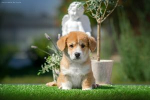 Corgi Puppy - Lee Zun StormGuard