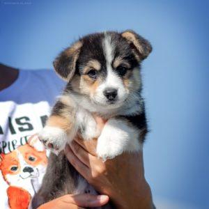 Corgi Puppy - Loki Marvelous StormGuard