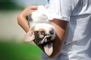 Corgi Puppy - Little Doll StormGuard